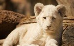 Ele foi resgatado, mas morreu a caminho do hospitalUm jovem leão que foi agredido e expulso pelo líder de bando, também na África do Sul, em um novo mistério da natureza. Veja a seguir!