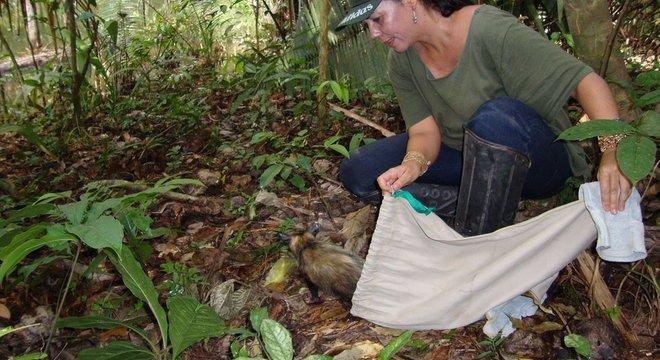 Zoóloga Ana Cristina Mendes de Oliveira, da UFPA, estuda como as atividades humanas afetam os mamíferos da região; acima, ela fazendo soltura de animal na Amazônia
