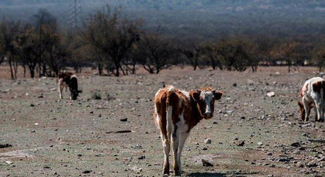 O preço do gado caiu acentuadamente, enquanto o dos fardos de capim para alimentá-los disparou