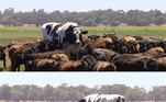 E mesmo seguindo o rebanho, essa vaca não consegue se camuflar entre as outras. A diferentona!