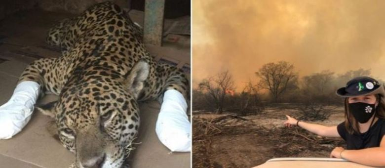 Onça pintada com patas queimadas e voluntária no combate ao fogo em 2020 no Pantanal.