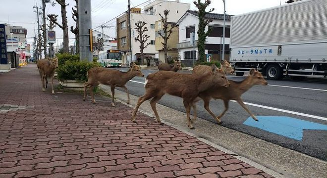 Grupo de veados tomaram ruas japonesas durante quarentena