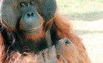 Com a pandemia de coronavírus, o orangotango Sansão, do Zoológico de São Paulo, ficou mais de cem dias isolado, sem interagir com o público. Por acreditar que o animal está com o bem estar comprometido, uma ONG entrou na justiça para retira-lo do local