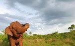 A elefanta Ramba passou quase a vida toda sendo explorada em circos no Chile. Aos 53 anos, no entanto, ela foi resgatada e trazida ao Santuário de Elefantes Brasil, onde pôde viver livre na natureza. Ramba, no entanto, morreu pouco tempo depois, por problemas renais crônicos