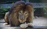 O leão Gaúcho, que ficava no Zoológico de Cascavel, no Paraná, teve uma história um pouco diferente. Depois de anos entretendo o público, o animal se aposentou, aos 22 anos. Gaúcho não foi devolvido à natureza, mas ganhou um espaço diferenciado no zoológico, longe do público