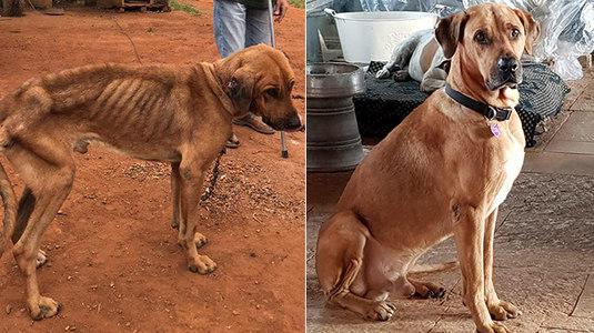 Cachorro que vivia acorrentado surpreende com transformação (Montagem/Arquivo Pessoal Gavaa)