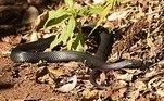 Trata-se de uma cobra-negra-de-barriga-vermelha (Pseudechis porphyriacus),espécie venenosa endêmica da AustráliaVale o cliqueIdoso flagrado com poste de energia sobre o carro é preso pela 48ª vez