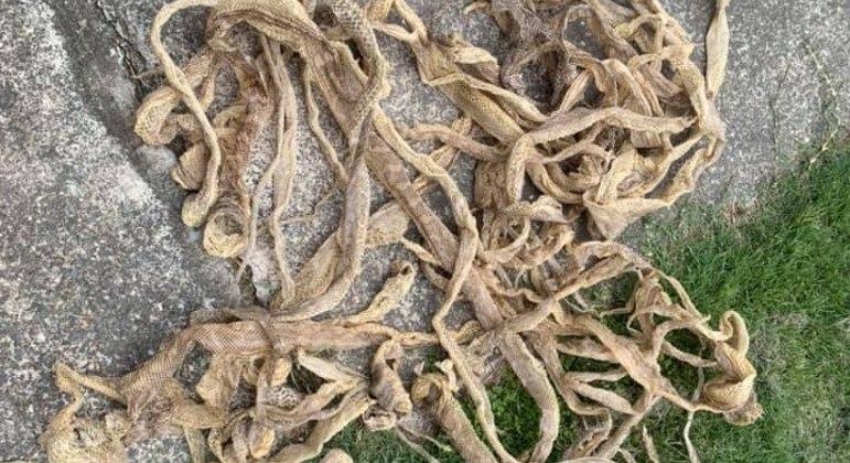 Apanhador encontrou 57 peles de serpente sob o telhado de uma casa na Austrália