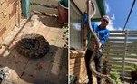 Um apanhador de cobras australiano foi surpreendido pelas dimensões de uma píton-carpete (Morelia spilota), que encontrou enrolada embaixo de uma lixeira