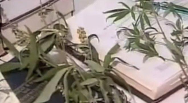 Após serem apreendidas pela polícia, as plantas de maconha de Cruzeta foram incineradas
