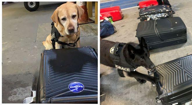 Bart e Grace, cães farejadores em ação no Aeroporto de Guarulhos