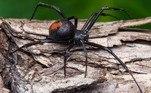 A revelação foi feita porJake Gray no grupo do Facebook intitulado Australian spider identification page (Página de identificação de aranhas australianas, em português)
