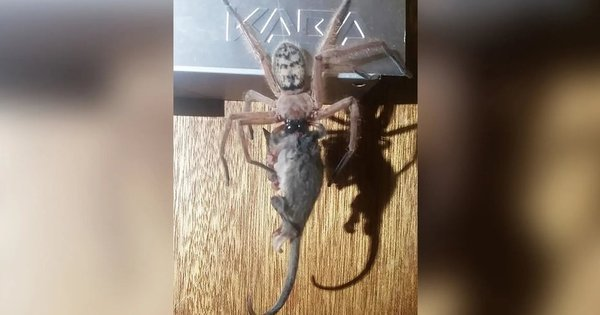 As impressionantes fotos de aranha comendo um gambá-pigmeu na Austrália