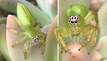 Essa pequena aranha ganhou o título de 'a mais fofa da Austrália'