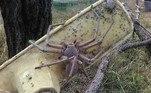 Boa parte das fotos assustadoras com aranhas de tamanhos inacreditáveis envolvem essa espécieVALE O CLIQUE:Jogadores de Flight Simulator acham abismo gigante e misterioso no RN