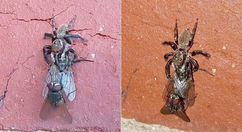 Aranha faminta destruiu momento de intimidade entre moscas