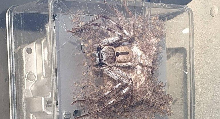 Aranha foi flagrada sobre um medidor de energia com centenas de filhotes