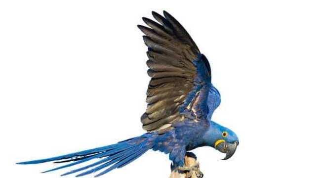 Arara-azul - Caraterísticas e comportamento