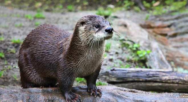Ariranha - Características, habitat, reprodução e curiosidades