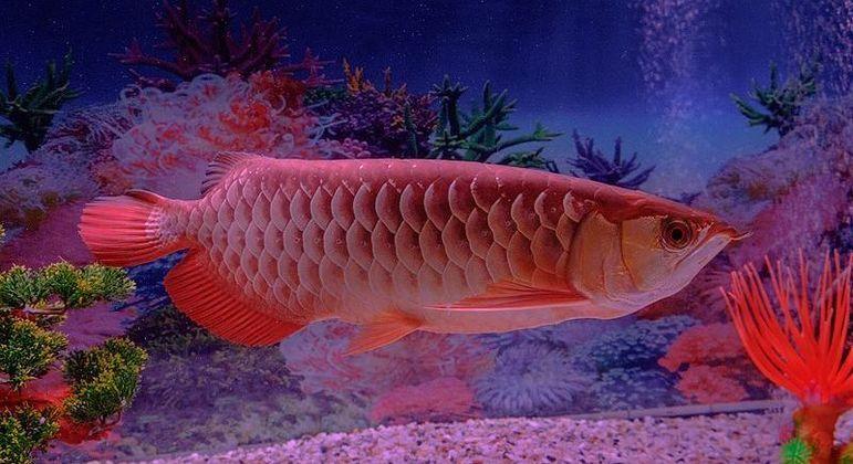Esse peixinho aí é o pet aquático mais caro que existe