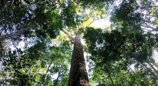 A árvore mais alta da Amazônia brasileira é da espécie Angelim Vermelho e está localizada na Floresta Estadual do Parú, no Pará