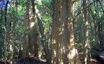 Apesar da semelhança com as urtigas, as versões australianas (especialmente as Dendrocnide excelsa e Dendrocnide moroide) são bem maiores e mais venenosas do que as encontradas em outros locaisLEIA MAIS: Causou revolta! Turista cutuca 'parte sensível' de tigre sedado