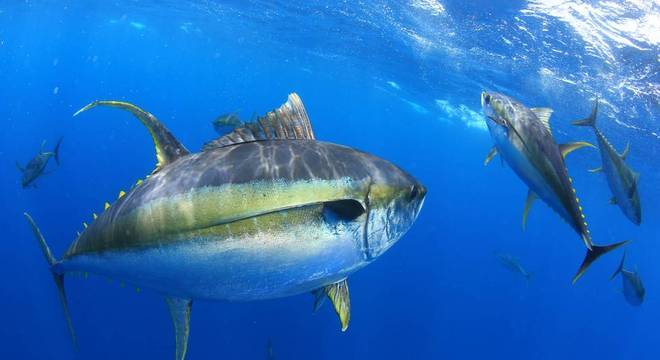 O atum está entre as espécies que sofrem com a redução da concentração de oxigênio nos oceanos, conforme a IUCN