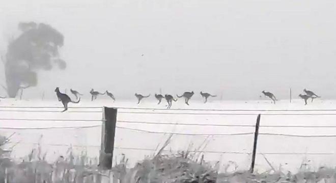 Cangurus foram flagrados pulando na neve