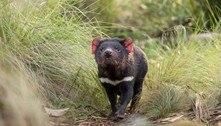 Diabos-da-tasmânia voltam a se reproduzir na Austrália continental