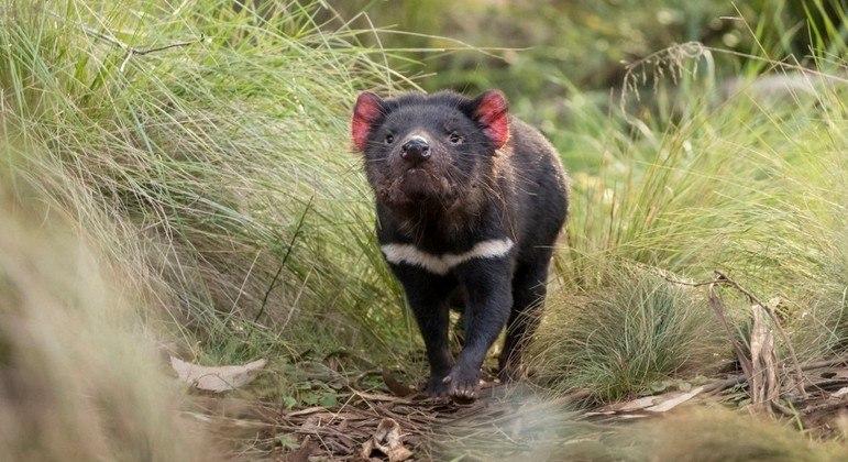 Os marsupiais desapareceram da Austrália continental há séculos