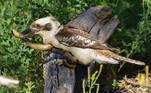 Em depoimento à publicação, Dave conta que, apesar do kookaburra ter levado a melhor, a empreitada cobrou dele um alto preçoVale o clique: Cadeia alimentar: pescador fisga peixe com cobra viva dentro da boca