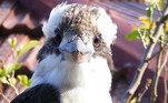 Segundo o tabloide Daily Mail, o valentão em questão é umkookaburra,predador conhecido por matar as presas deixando-as despencar de grandes alturas...