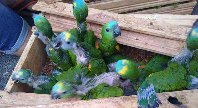 Aves silvestres estavam presas dentro de caixotes para transporte
