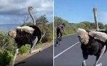 O avestruz acima invadiu uma corrida de ciclismo na África do Sul e, ao invés de receber a ira dos atletas, acabou elogiado pela forma física