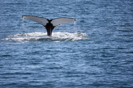 Das baleias, 720 são filhotes acompanhados das mães