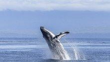 Canto das baleias pode auxiliar no 'ultrassom' do fundo do mar