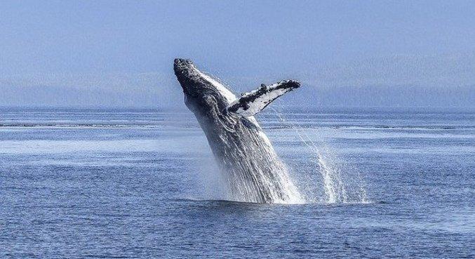 Baleias podem emitir sons com cerca de 189 decibéis