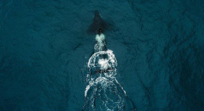 A baleia assassina que colidiu com o barco dos Robertsons pode ter atingido a embarcação por acidente ou deliberadamente após confundir o casco com uma presa