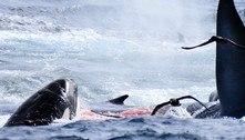 Baleia azul cruza com 75 orcas famintas e vira refeição de geral