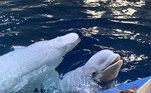 Elas foram resgatadas pelainstituição britânica Sea Life Trust, e agora estão sendo devolvidas ao mar aberto em um santuário de baleias