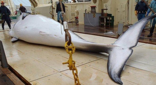 Japão poderá caçar espécies protegidas pela IWC, como a baleia-de-minke