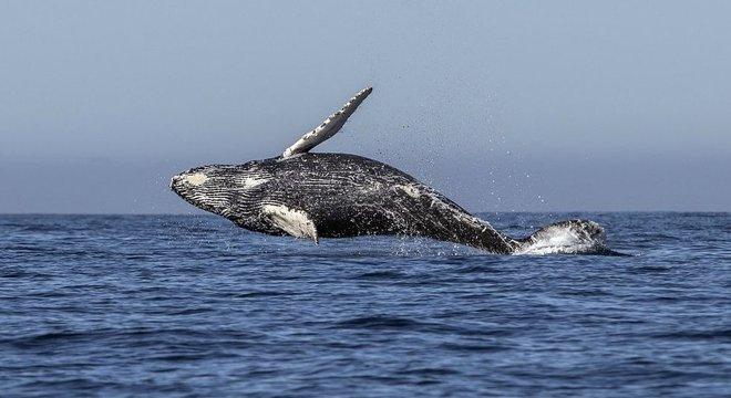 Caça comercial de baleias foi banida pela IWC em 1986