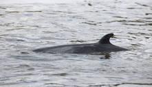 Jovem baleia perdida no rio Tâmisa, em Londres, é sacrificada