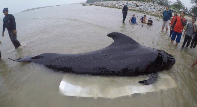 Baleia-piloto morreu na Tailândia depois de ingerir cerca de 8 kg de plástico