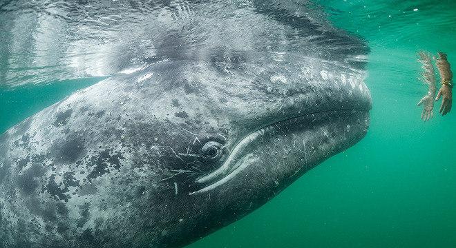 Baleia quase toca mão de turista