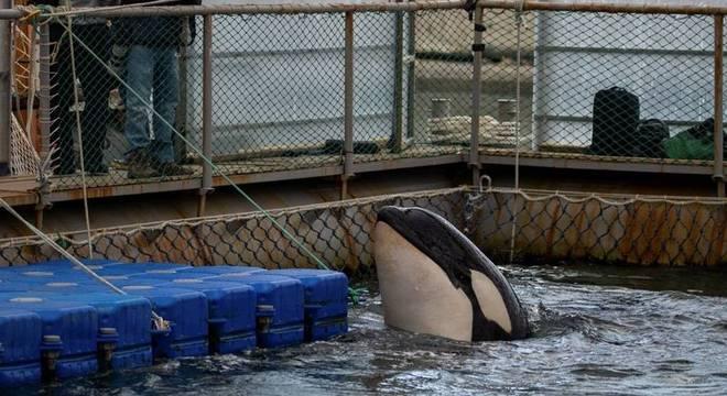 Uma das 11 orcas mantidas em cativeiro na Rússia