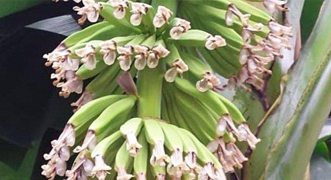 Kema e sua equipe cultivaram 60 plantas de banana em estufas