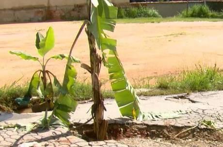 Bananeiras foram colocadas nos buracos