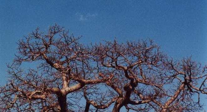 Baobá - qual a origem da árvore símbolo da África?