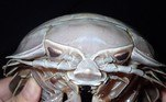 A nova espécie do gênero foi batizada como Bathynomus raksasa e acabou comparada ao vilão do Star Wars devido à cabeça com os olhos acopladosVeja também:Fazendeiro encontra cabra de estimação sendo devorada por píton
